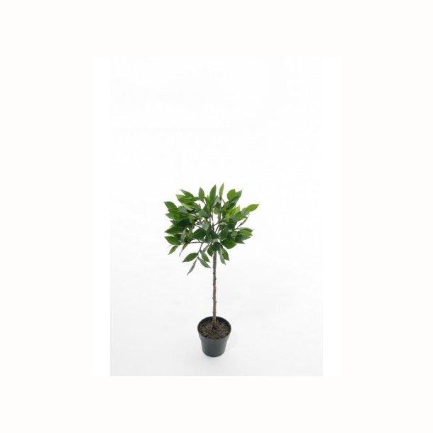 Laurbær træ 50 cm