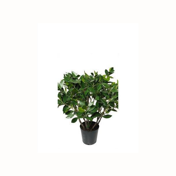 Laurbær busk 75 cm