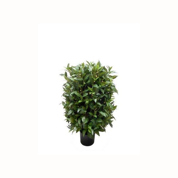Laurbær busk 80 cm
