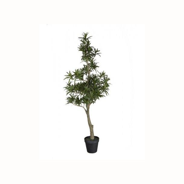 Podocarpus 90 cm
