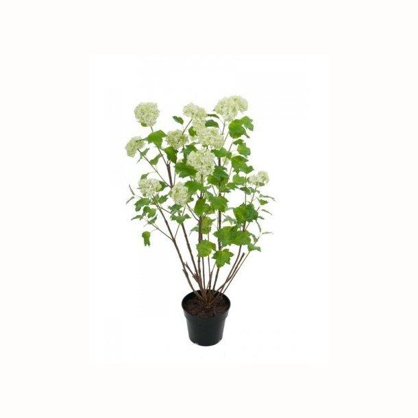 Viburnum 95 cm. lime