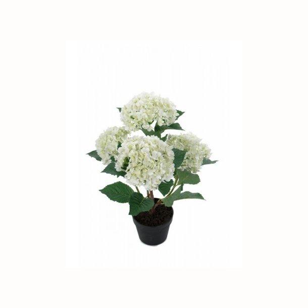 Hortensia 65 cm. hvid