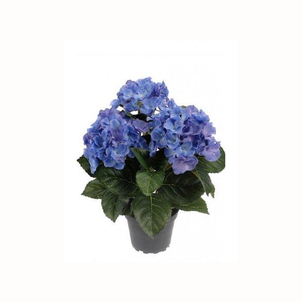 Hortensia 30 cm. blå