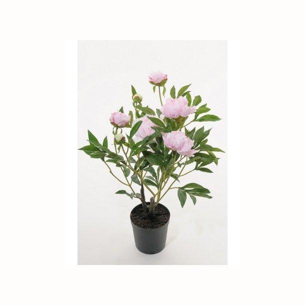 Pæon 70 cm. lys rosa