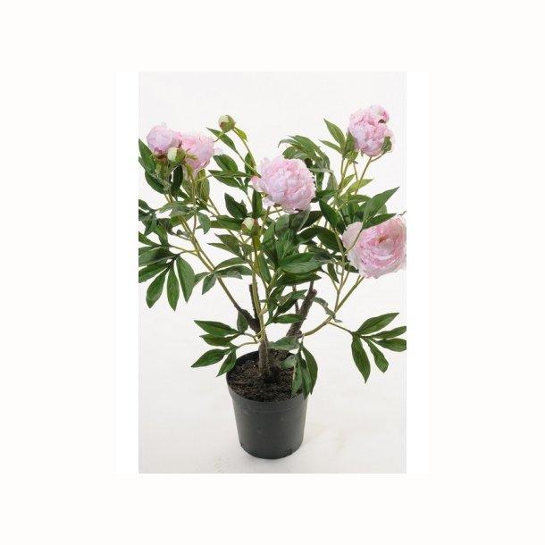 Pæon 80 cm. lys rosa