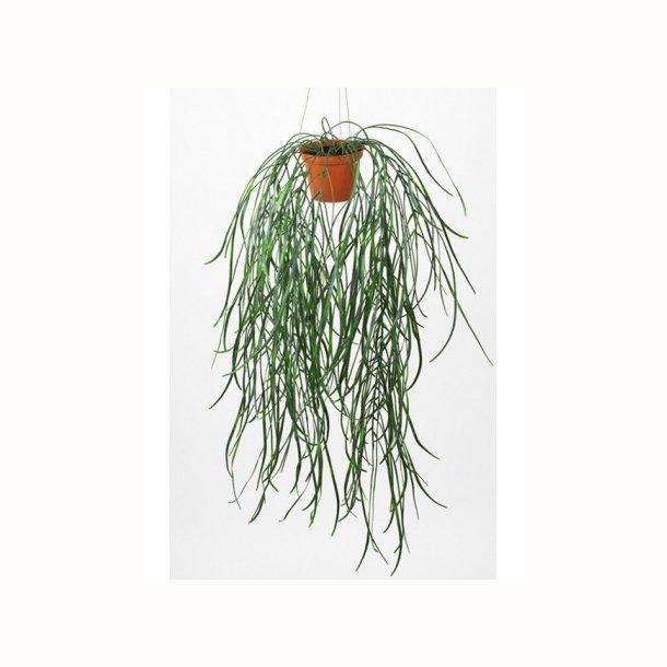 Hoya i ampel 70 cm