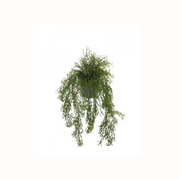 Rhipsalis 65 cm