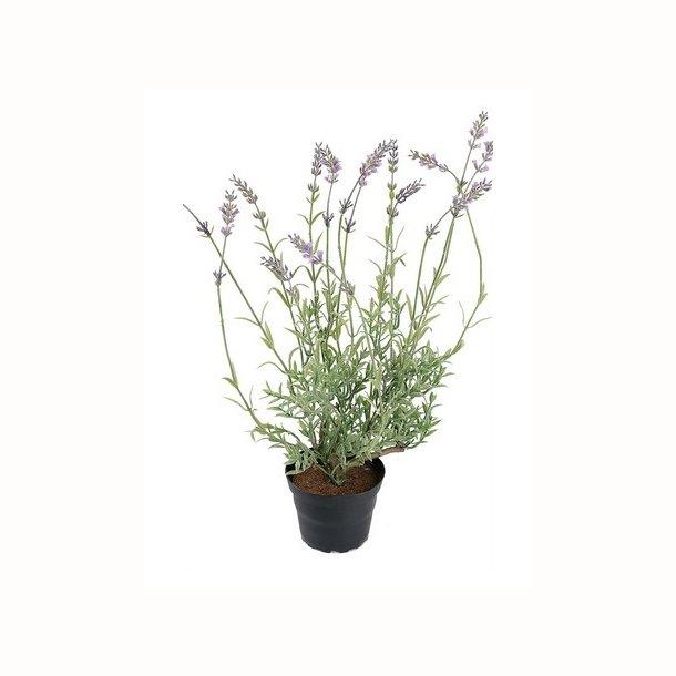 Lavendel 40 cm