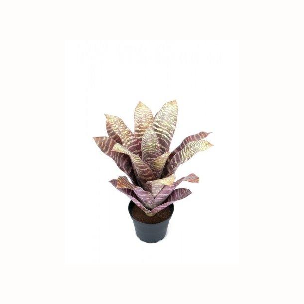 Bromelia 30 cm. lilla/grøn