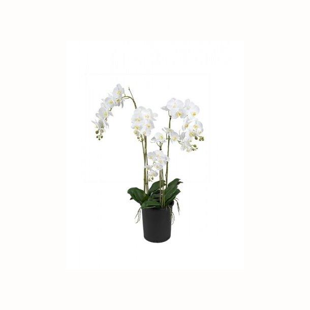 Phalaenopsis 130 cm. hvid