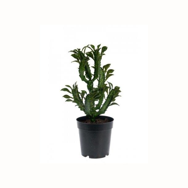 Kaktus 35cm